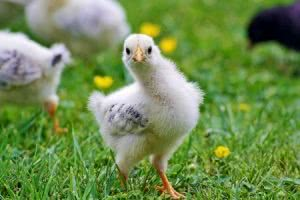 A chick on grass looking at camera
