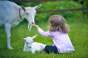 Goats getting fed by little girl