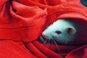 Pet rat inside red shirt