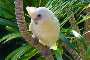 White parrot looking at camera