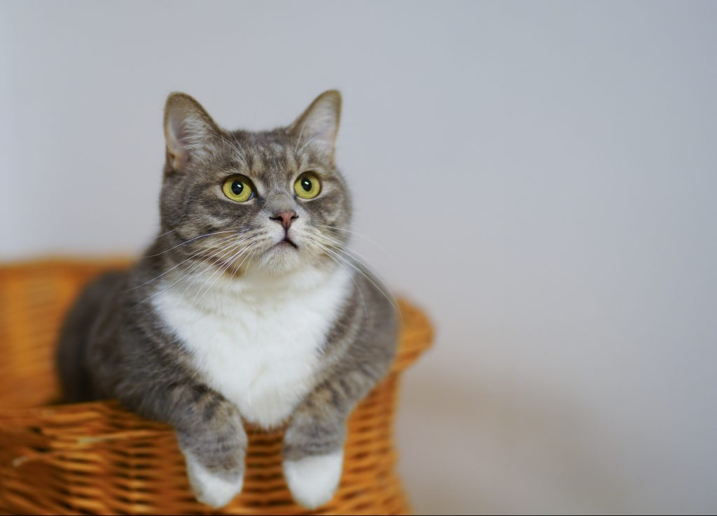 Cat in a basket, looking at something.