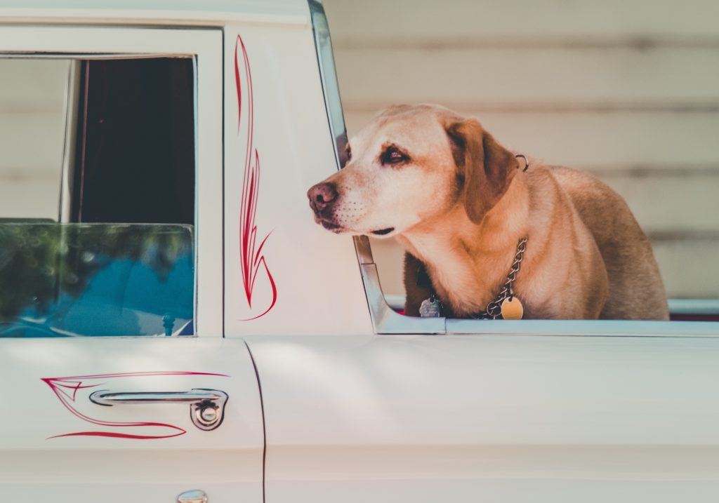 Sweet dog in the back of a ute.